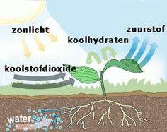 fotosynthese - Google zoeken