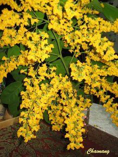 Rayong : Burma Padauk ดอกประดู่ Rayong, Burma Myanmar, Orchids, Flowers, Plants, Beautiful, Beautiful Gardens, Plant, Royal Icing Flowers