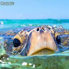 Clark Little photo of sea turtle ♥