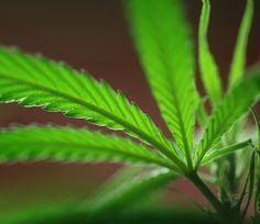Atrapan a mujer con plantas de marihuana en medio de desahucio...