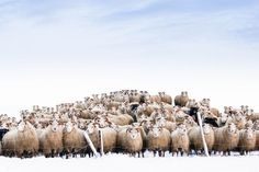 """Two hundred, actually—that's how many sheep Your Shot photographer Einar Örn says gathered in this portrait taken in Iceland. He reckons that the intense collective gaze meant that """"they were waiting to get into a warm house after a stroll in the snow."""" PHOTOGRAPH BY EINAR ÖRN, NATIONAL GEOGRAPHIC YOUR SHOT"""
