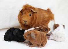 four new baby guinea pigs, born overnight last night. (two months after those: some similar, some new colors) the last picture shows the universal method of good animal parenting: sitting on the little ones and pretending like they aren't really there.