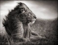 Nick Brandt photography - lion before the storm