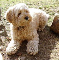 The next dog I'm getting... Saw one in san clemente and fell in love. They look exactly like Thomas but bigger. Cockapoo :) But I have to wait another year or so ;)