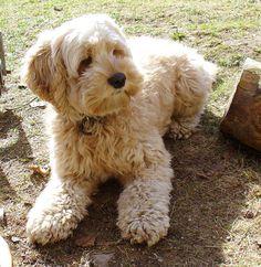 Cockapoo   (Cocker Spaniel + Poodle)