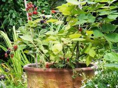 How to Grow Blackberry Plants in Pots