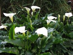 Calla Lilly (Zantedeschia Aethiopica) - must bring in and store in a cool dark place winter.