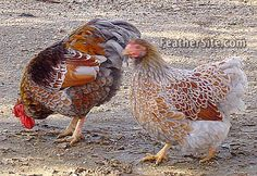 A pair of Blue Laced Red Wyandotte bantams............................................................  Photo courtesy of Heather Langdon