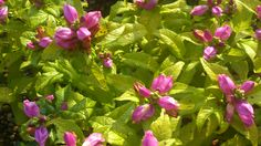 Hot Lips Pink Turtlehead (Chelone). Full sun perennial with a great bloom time and conversation-starter name!