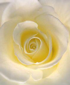Light Yellow Rose Close-up