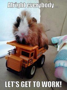 working guinea pig