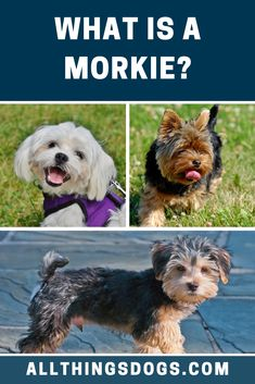 What is a Morkie? A cross between the Maltese and the Yorkie. The Yorkshire Terrier is well known for its confidence and a Maltese is also no wallflower. It's not-surprising then that this gorgeous cross is full of personality and sass. Read on to learn more about them.  #morkie #whatisamorkie #malteseyorkiemix Maltese Yorkie Mix, Maltese Dog Breed, Terrier Breeds, Dog Breeds, Lap Dogs, Yorkshire Terrier, Confidence, Personality, Animals