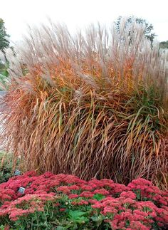 Miscanthus Purpurascens (Flame Grass): It is a compact, upright, ornamental grass which typically grows to 3-4' tall. Features medium green blades with a reddish tinge which gradually develop further reddish hues as summer progresses, a brilliant orange-red in fall. Foliage gradually darkens to an attractive burgundy by winter. **Planted South of house and deck**