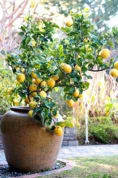 Meyer Lemon trees grown in containers are so pretty on patios during warm months. The containers allow them to be moved indoors in winter to prevent freezing. The fruit - a cross between a lemon & an orange - is large, fragrant, sweeter & less acidic than a common lemon. It's fragrant white flowers have a purple base & dark green glossy foliage.