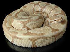 Caramel Albino Ball Python