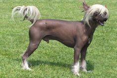 Top 10 Most Expensive Dog Breeds in the World – #7 Chinese Crested Hairless  #ChineseCrestedHairless http://www.pindoggy.com/pin/7650/
