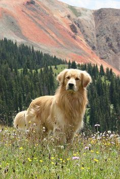 Golden Retriever - Why are they the perfect pets - . - Golden Retriever – Why Are They The Perfect Pets – - Cute Dogs And Puppies, I Love Dogs, Pet Dogs, Doggies, Puppies Tips, Fluffy Puppies, Lab Puppies, Chihuahua Dogs, Beautiful Dogs
