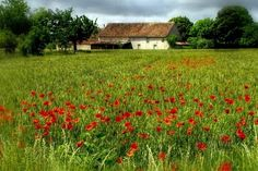 Poppy Field in the Touraine countryside. Other than the froliferation of poppies, reminds me a bit of my native Northern Ireland.