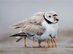 mama bird keeping her chicks warm.