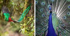 Las aves son animales vertebrados que caminan, saltan o se mantienen sólo sobre las extremidades inferiores, las superiores tienen forma de alas que a muchas de ellas les permite volar, aunque no todas lo pueden hacer, dada su anatomía. Su orígen viene de los dinosaurios, de hecho son los únicos sobrevivientes de la extinción y su evolución se dio después de una fuerte radiación a las más de 10,000 especies que existen hoy.