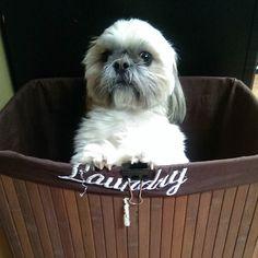 """Get me outta here"" It's laundry day and of course I'm the innocent bystander used for amusement. #dogsofhampergram #notfunny #laundryday #ineedabathnow  #nodogswereharmed  #yesthatsabinderclip #momisresourceful  #Prescot #shihtzu #shihtzusofinstagram #dogstagram #dogsofinstagram #furbaby #shihtzuswag #instapet #instadog #instapuppy #dogfessional #woofpackbros #woofpackhotties #lacyandpaws #barkpost  #dogsandpals #buzzfeedanimals #dogdaily #Brooklyn #buzzfeed #nycdogs #dogsofnyc # by…"