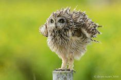 Coruja-do-nabal | Short-eared owl | Asio flammeus - Esta foto lembra-me uma outra tirada há alguns (https://500px.com/photo/21299101/coruja-do-nabal-short-eared-owl-asio-flammeus-by-álvaro-nunes?ctx_page=8&from=user&user_id=248574)  This photo reminds me of another one that I shot some years ago (https://500px.com/photo/21299101/coruja-do-nabal-short-eared-owl-asio-flammeus-by-álvaro-nunes?ctx_page=8&from=user&user_id=248574)  Lezíria Grande de Vila Franca de Xira Portugal