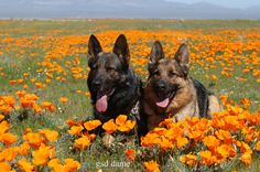 Uh oh....favorite dogs lying in a field of favorite flowers....  German shepherds laying in California poppies by Ronnie Fituci.