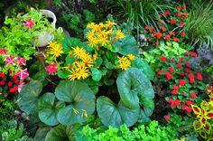 Ligularia Dentata, likes shade and leaves get very big ..