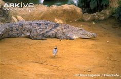 Egyptian+Nile | Egyptian plover and Nile crocodile in hypothesised symbiotic ...