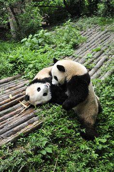 Giant Panda Couple in Chengdu Panda Base