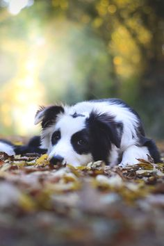 Astounding Border Collie Dog Tips Ideas I Love Dogs, Cute Dogs, Border Collie Colors, Photo Animaliere, Herding Dogs, Collie Dog, Fauna, Training Your Dog, Training Tips
