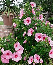 hardy Hibiscus- for those of u that didn't know that this beautiful flower was able 2 grown in places as far up north in the US as Massachusetts. At least in a hybrid form.