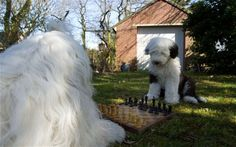 The everyday adventures of a couple of shaggy old English sheepdogs.
