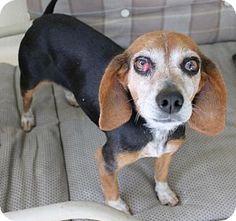 Tampa, FL - Beagle. Meet Sizzle, a dog for adoption. http://www.adoptapet.com/pet/15215033-tampa-florida-beagle