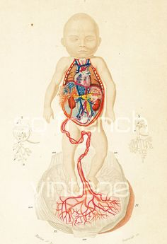 1861 Anatomie Foetus Bébé Orbigny Planche Originale Couleurs peintes à la main Qualité Exceptionnelle nativité garçon fille enfant