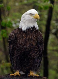 https://flic.kr/p/fBv3Eo | Bald Eagle_DSC9744 | Bald Eagle at the World Bird Sanctuary.