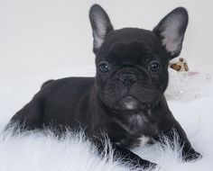 """How ya like me now.."", a fashionably posed French Bulldog Puppy."