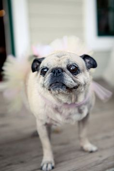 that tutu looks good on you little pup