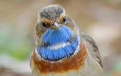 Bluethroat by _oz_ via http://ift.tt/2dG0mqh