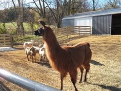 Rescue a Llama to guard your sheep!