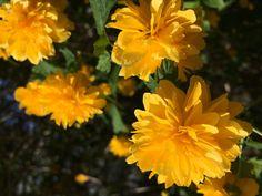 Der auffallend gelb blühende Strauch, gehört zu einem der ersten der den Garten mit seinen Blüten verzaubert. Aber nicht nur seine reichen Blüten sprechen für den Ranukelstrauch (Kerria japonica), die Pflanze ist besonders pflegeleicht und benötigt keinen Dünger.   Zudem ist die Kerria vielseitig einsetzbar. Ob als Ergänzung einer Blütenhecke oder als Einzelpflanze. Plants, Plant, Planets