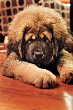 Tibetan Mastiff Puppy!