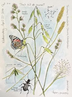 Middlewood Journal: Ground Beetle, Painted Lady, Oats, & various grasses nature journal Watercolor Sketchbook, Art Sketchbook, Watercolour, Kids Watercolor, Garden Journal, Nature Journal, Botanical Drawings, Botanical Prints, Floral Illustration