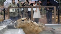 How the world's largest rodent became a superstar in Japan