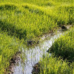 #risaia #piantine #riso #passiu #agricolapassiu #sardegna #oristano #country #fields #italy #rice