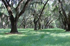 Live Oaks at White Hall Plantation, the home of Thomas Heyward Ridgeland South Carolina