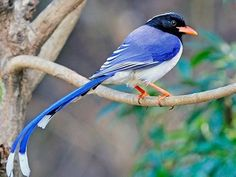 Red-billed Blue Magpie by Rich Lindie taken on a Rockjumper Birding Tour in Northern India. Blue Jay Bird, Red Bill, Wildlife Safari, White Wings, Magpie, Big Cats, Conservation, Taiwan, Mammals