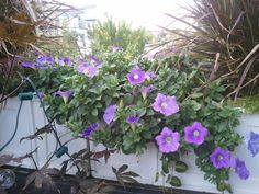 More pics of the Surfinia petunia. If you hate petunias you should try these out!