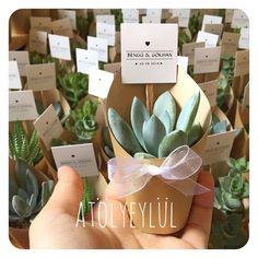 Mini sukulent, mini succulent, |