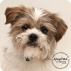 Troy, OH - Terrier (Unknown Type, Small) Mix. Meet Cyrus, a dog for adoption. http://www.adoptapet.com/pet/12775019-troy-ohio-terrier-unknown-type-small-mix